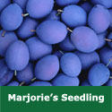 C5 (SELF FERTILE) BARE ROOT Marjories Seedling Eating/Cooking Plum Tree 1-2m tall, Fruits September, LARGE GOOD CROPS + NORTH SUITABLE **FREE UK MAINLAND DELIVE