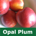 C3 (SELF FERTILE) BARE ROOT Opal Plum Tree, Eating, 1-2m tall, Late July,  RELIABLE HARVEST **FREE UK MAINLAND DELIVERY + FREE 100% TREE WARRANTY**