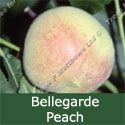 SELF FERTILE Bellegarde Peach Tree. 1-2 metres tall, RICH TASTE + JUICY **FREE UK MAINLAND DELIVERY + FREE 100% TREE WARRANTY**