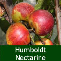 SELF FERTILE  Humboldt Nectarine Tree, Height 1.0m-2.0m, RICH FLAVOUR + RELIABLE + LOTS FLOWERS + GOOD CROPPER,  FREE UK DELIVERY + 100% WARRANTY