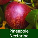 SELF FERTILE Pineapple Nectarine Tree, Height 1.0m-2.0m, RICH FLAVOUR + LARGE FRUIT + FREE UK DELIVERY + 100% WARRANTY