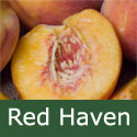 SELF FERTILE Red Haven Peach Tree. 1-2 metres tall, FIRM + FREESTONE **FREE UK MAINLAND DELIVERY + FREE 100% TREE WARRANTY**