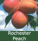 SELF FERTILE Rochester Peach Tree. 1-2 metres tall, RELIABLE + POPULAR + GOOD CROPPER + FIRM + FREESTONE + LARGE FRUIT **FREE UK MAINLAND DELIVERY + FREE 100% TREE WARRANTY**