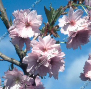 Rufa (Himalayan) Flowering Cherry Tree (Prunus - 'Rufa') Supplied height 1.5 - 2.0m in a 12 litre container **FREE UK MAINLAND DELIVERY + FREE 100% TREE WARRANTY**