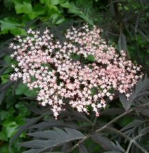 Black Lace Elder Tree (Sambucus nigra 'Black Lace') Height 125cm supplied in a 12 litre container**FREE UK MAINLAND DELIVERY + FREE 100% TREE WARRANTY**