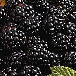 Oregon Thornless Blackberry Bush (Thornless Type)  3 Litre Containerised Bushes **FREE UK MAINLAND DELIVERY + FREE 100% TREE WARRANTY**