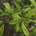 Blackthorn or Sloe (Prunus spinosa), 20cm-40cm, COAST SUITABLE + WET + DRY + EXPOSED + WILDLIFE + HOSTILE + THORNY + PIONEER  **FREE UK MAINLAND DELIVERY + FREE 100% TREE WARRANTY****