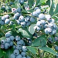 Blueberry Bush Bluecrop Pack contains 3 Litre Containerised Plants **FREE UK MAINLAND DELIVERY + FREE 100% TREE WARRANTY**