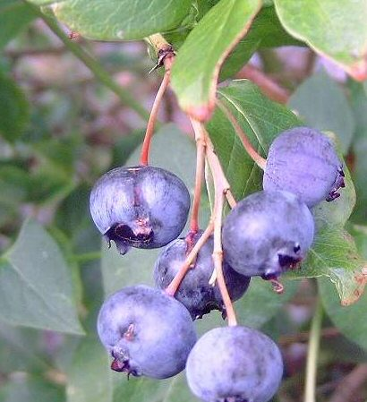 Baldwin Blackcurrant Bush (Mid-Season Variety) 3 litre containers **FREE UK MAINLAND DELIVERY + FREE 100% TREE WARRANTY**