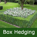 Box Hedging (Buxus sempervirens) 10-20cm Hedge Trees SLOW GROWING + EVERGREEN + TOPIARY + SCENTED + DROUGHT RESISTANT  **FREE UK MAINLAND DELIVERY + FREE 100% TREE WARRANTY**