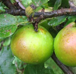 Bramleys Seedling Apple Tree (C3), TRIPLOID + BEST COOKING APPLE + AWARD +JUICING,  1-3 years old, delivered 1-2m tall, **FREE UK MAINLAND DELIVERY + FREE 100% TREE WARRANTY**