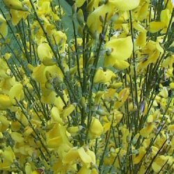 "<font color=""red"">DELIVERED AUGUST 2020</font> Broom (Cytisus scoparius) 20-40cm shrubs**FREE UK MAINLAND DELIVERY + FREE 100% TREE WARRANTY**"