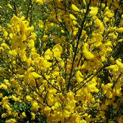 Broom Shrubs