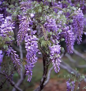 <font color=&quot;red&quot;>DELIVERED AUGUST 2018</font> Burford Wisteria Tree Vine (Wisteria 'Burford') 4 Years old, Supplied 1.0 - 1.25m in a 3-7L Pot, **FREE UK MAINLAND DELIVERY + FREE 100% TREE WARRANTY**