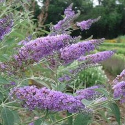 Butterfly Bush Propagation on Butterfly Bush Buddleia Davidii 132 Jpg
