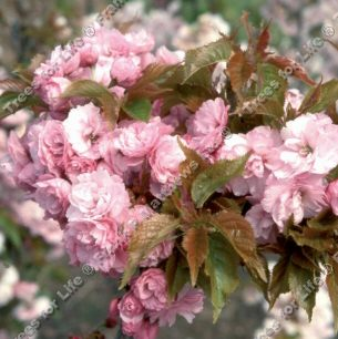 Candy Floss Japanese Flowering Cherry Tree (Prunus 'Candy Floss') Supplied height 1.5 - 2.2m in a 12 litre container **FREE UK MAINLAND DELIVERY + FREE 100% TREE WARRANTY**