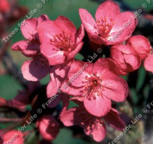 Cardinal Crab Apple Tree (Malus 'Cardinal') Supplied height 1.5 - 1.6m in a 12 litre container **FREE UK MAINLAND DELIVERY + FREE 100% TREE WARRANTY**