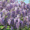 Caroline Wisteria Tree Vine (Wisteria 'Caroline') 4 Years old,  HEAVILY SCENTED + PATIO/BONSAI SUITABLE, LONG LIVED, Supplied at 1.0 - 1.50m in a 3-7 litre container **FREE UK MAINLAND DELIVERY + FREE 100% TREE WARRANTY**