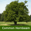 Bare Root Common Hornbeam Tree (Carpinus betulus) Supplied 1.25-2.00m ***PRICE INCLUDES FREE MAINLAND DELIVERY + 3 YEAR TREE WARRANTY***