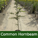 Common Hornbeam Tree (Carpinus betulus) Supplied height 1.5 to 1.7 metres in a 12 litre container **PRICE INCLUDES FREE MAINLAND DELIVERY**