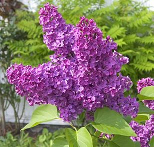 Charles Joly Lilac Tree / shrub (Syringa vulgaris 'Charles Joly') Supplied 50-120cm in 7-12L pots. AWARD + CHALK TOLERANT  **FREE UK MAINLAND DELIVERY**