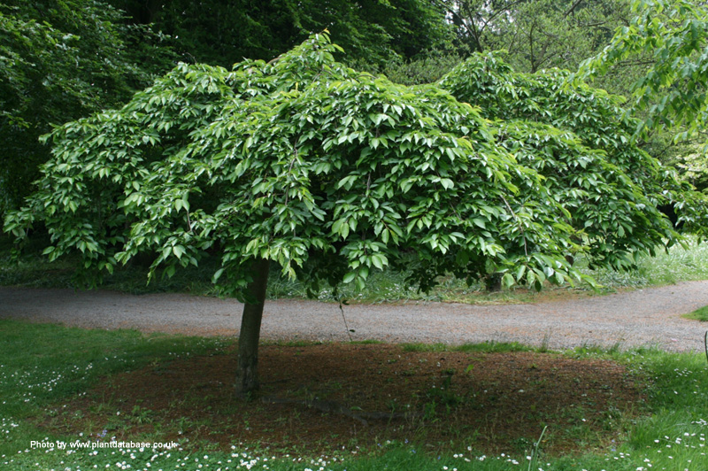 Dwarf weeping cherry tree extemely beautiful dwarf weeping for Small garden trees for sale