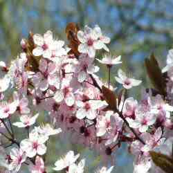 Cherry or Myrobalan Plum Tree (Prunus cerasifera `Nigra`) Supplied height 1.6 to 2.2m and in a 12 litre container **FREE UK MAINLAND DELIVERY + FREE 100% TREE WARRANTY**