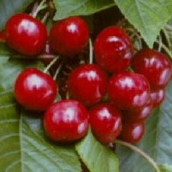 Celeste Eating Cherry Tree. SELF-FERTILE, Delivered 1.5-2.20 m, 2-3 Years Old,  LARGE + QUALITY FRUIT + DISEASE RESISTANT + PICK EARLY JULY ,  **FREE UK MAINLAND DELIVERY + FREE 100% TREE WARRANTY**