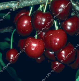 Lapins Cherokee Eating Cherry Tree (Prunus avium 'Lapins Cherokee') SELF FERTILE + LARGE FRUIT **FREE UK MAINLAND DELIVERY + FREE 100% TREE WARRANTY**