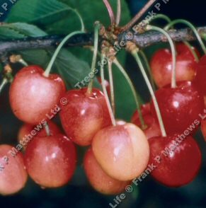 Merton Glory Eating Cherry Tree, LARGE CHERRIES + SWEET + WHITE CHERRY + COMPACT TREE +  NOT SELF FERTILE **FREE UK MAINLAND DELIVERY + FREE 100% TREE WARRANTY**