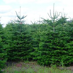 Norway Spruce Christmas Tree (Picea abies) 20 - 40cm **PRICE INCLUDES FREE UK MAINLAND DELIVERY***