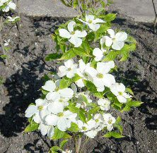 Cloud Nine North American Flowering Dogwood Tree (Cornus florida 'Cloud Nine') Supplied height 90 - 150cm in a 7 - 12 litre container **FREE UK MAINLAND DELIVERY + FREE 100% TREE WARRANTY**