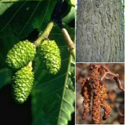<font color=&quot;red&quot;>DELIVERED AUGUST 2017</font> Common Alder Tree (Alnus glutinosa) 20 - 40cm Trees **FREE UK MAINLAND DELIVERY + FREE 100% TREE WARRANTY**