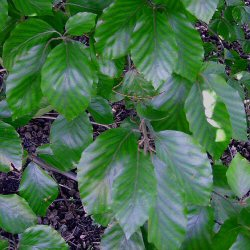 Common or Green Beech Tree (Fagus sylvatica) Supplied height 1.5 - 2.5m in a 5-15 litre container **FREE UK MAINLAND DELIVERY + FREE 100% TREE WARRANTY**