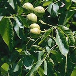 Hybrid Walnut Tree (Juglans Major x Regia MJ209) 20 - 40cm Trees, GOOD WOOD + FROST/DISEASE RESISTANT   **FREE UK MAINLAND DELIVERY + FREE LIMITED 3 YEAR TREE WARRANTY**