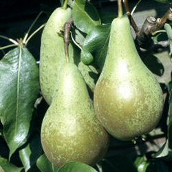 Conference Pear Tree SELF FERTILE (C3) SWEET + JUICY + RELIABLE CROP 2-3 years old, Delivered 1.2-2.00m, **FREE UK MAINLAND DELIVERY + FREE 100% TREE WARRANTY**