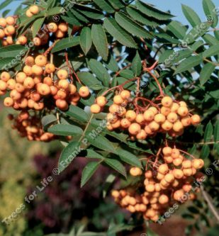Copper Kettle Mountain Ash or Rowan Tree (Sorbus 'Copper Kettle') Supplied height 1.2 - 2.4m **FREE UK MAINLAND DELIVERY + FREE 100% TREE WARRANTY**