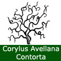Corkscrew Hazel Tree or Harry Lauders Walking Stick Tree Corylus Avellana Contorta Height 1.25 - 2.0 m in a 7-12 Litre container  **FREE UK MAINLAND DELIVERY + FREE 100% TREE WARRANTY**