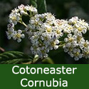 Cornubia Cotoneaster Tree  Supplied height 1.5 - 2.4 m, 2+ Years Old, 12L Pot, EVERGREEN + AWARD + DROUGHT RESISTANT + SMALL + COAST  **FREE UK MAINLAND DELIVERY + FREE 100% TREE WARRANTY**
