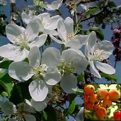 John Downie Crab Apple Tree (Malus `John Downie`) GOOD FOR JELLY + FAST GROWNING  Supplied height 1.5 to 2.4m in a 10-15 litre container**FREE UK MAINLAND DELIVERY + FREE 100% TREE WARRANTY**