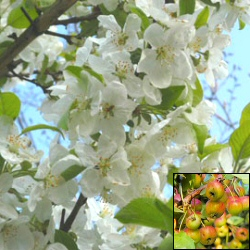 Evereste Crab Apple Tree (Malus Evereste) Supplied height 1.5 to 2.4 metres in a 7-12 litre container**FREE UK MAINLAND DELIVERY + FREE 100% TREE WARRANTY**
