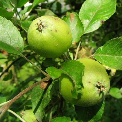 Crab Apple Tree (Malus sylvestris) 20-40cm Trees **FREE UK MAINLAND DELIVERY + FREE 100% TREE WARRANTY**