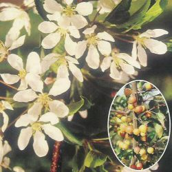 White Star Crab Apple Tree (Malus `White Star`)  1.5-2.0 m, 12 L Pot, FAST GROWING + FRAGRANT + LOW MAINTENANCE + DISEASE RESISTANT **FREE UK MAINLAND DELIVERY + FREE 100% TREE WARRANTY**