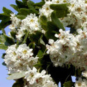 Double White Flowered Hawthorn Tree (Crataegus laevigata 'Plena') Supplied height 1.5-2.4m 7- 15 Pot **FREE UK MAINLAND DELIVERY + FREE 100% TREE WARRANTY**