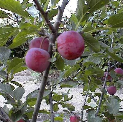 Merryweather Damson Fruit Tree (Prunus domestica `Merryweather`) Supplied in a container **FREE UK MAINLAND DELIVERY + FREE 100% TREE WARRANTY**