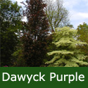 Dawyck Purple Beech Tree,  1.5 - 2.0m, 4-5 yrs old,  12L Pot, AWARD + EXPOSED SITES + LOW MAINTENANCE + CLAY TOLERANT + SLOW GROWING + COLUMNAR **FREE UK MAINLAND DELIVERY + FREE 100% TREE WARRANTY**