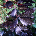 Fagus Dawyck Purple Beech Tree AWARD + EXPOSED SITES + LOW MAINTENANCE + CLAY TOLERANT + SLOW GROWING + COLUMNAR **FREE UK MAINLAND DELIVERY + FREE 100% TREE WARRANTY**
