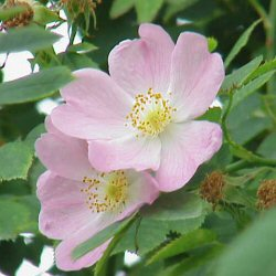 Dog Rose (Rosa canina) 20-40cm hedging tree shrubs **FREE UK MAINLAND DELIVERY + FREE 100% TREE WARRANTY**