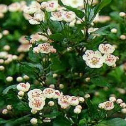 Double White Flowered Hawthorn Tree (Crataegus laevigata 'Plena') Supplied height 1.5 to 2.4 metres in a 12 litre container **FREE UK MAINLAND DELIVERY + FREE 100% TREE WARRANTY**