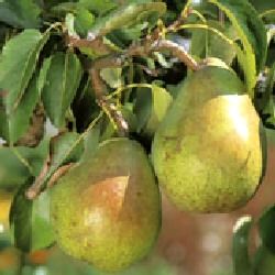 Doyenne De Comice Pear Tree (C4),  POPULAR DESSERT PEAR + RICH + JUICY, 2-3 years old, delivered 1.5-2.00m tall, **FREE UK MAINLAND DELIVERY + FREE 100% TREE WARRANTY**